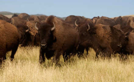 Biosolid Fertilizer to Improve Bison Grazing Lands in British Columbia
