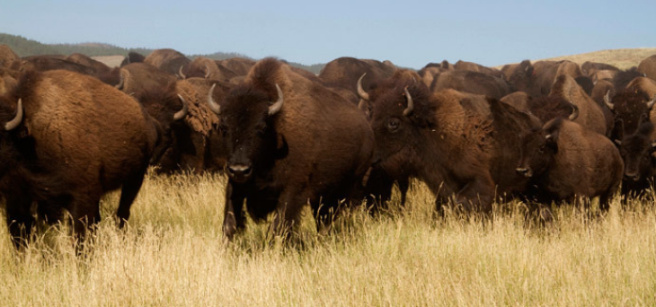 Biosolids to Improve Bison Grazing Lands in British Columbia